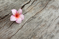 Plumeria flower - PhotoDune Item for Sale