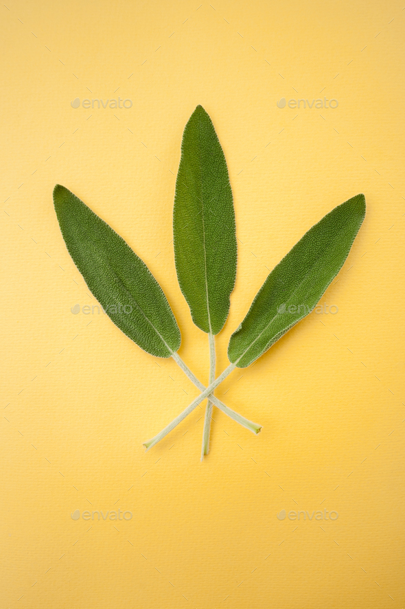 Three leaves of fresh sage on a bright yellow background. - Stock Photo - Images