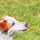 Portrait of a young Jack Russell Terrier licking his nose. - PhotoDune Item for Sale