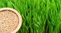 Microgreens Growing Panoramic Wheatgrass Blades Bowl Red Wheat Berries - PhotoDune Item for Sale