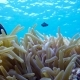 Clown Fish in Anemone Close, Red Sea, Egypt - VideoHive Item for Sale