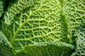 cabbage - PhotoDune Item for Sale