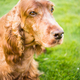 Purebred Irish Setter Dog Canine Pet Laying Down - PhotoDune Item for Sale
