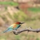 Bee-eater in the Wind Sitting on a Branch and Then Flies - VideoHive Item for Sale