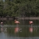 Greater Flamingo (Phoenicopterus Roseus) on the Lake Ornithological Reserve Cuba - VideoHive Item for Sale