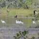A Flock of White Ibis (Eudocimus Albus) Standing in a Swamp in Zapata, Cuba - VideoHive Item for Sale