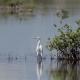 Snowy Egret (Egretta Thula) Is a Small White Heron Zapata Reserve, Cuba - VideoHive Item for Sale