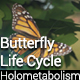 Butterfly Life Cycle (Holometabolism)