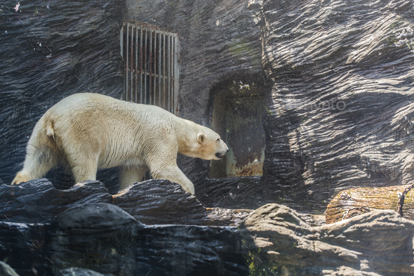 Large adult polar white bear. Zoo, wild animals and mammal concept
