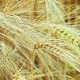 Dry Golden Wheat Ears in Wind, - VideoHive Item for Sale