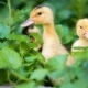 Cute Gosling in Green Grass - VideoHive Item for Sale