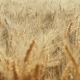The Yellow Field Is Mature, Ready To Harvest Wheat - VideoHive Item for Sale