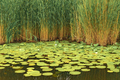wild withe waterlilies - PhotoDune Item for Sale