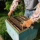 The Beekeeper Gently Pulls Out the Honeycomb From the Hive and Looks at It. Watches the Honey Cell - VideoHive Item for Sale