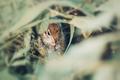 Eastern Chipmunk sitting on a green grass