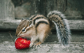 Little chipmunk eating a strawberry top