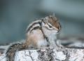 Eastern Chipmunk sitting on a tree stump