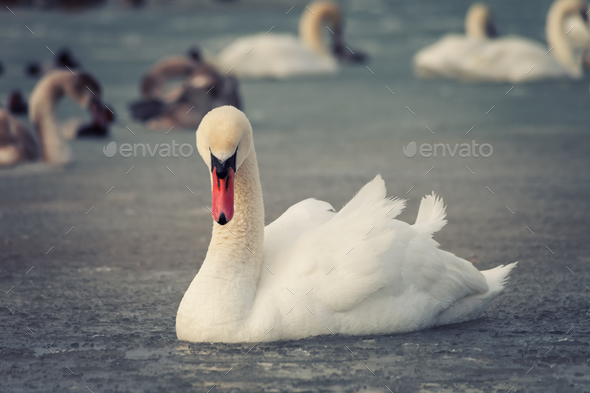 White swan in the freezing water