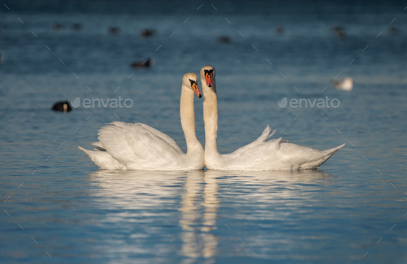 Two beautiful white swans with reflections on blue water