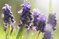 Purple hyacinth flowers in dew - PhotoDune Item for Sale