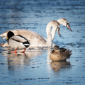 Beautiful waterfowl frolic on the ice - PhotoDune Item for Sale