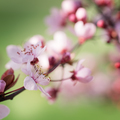 Blooming plum tree. - PhotoDune Item for Sale