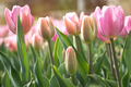 Pink tulips in green foliage - PhotoDune Item for Sale