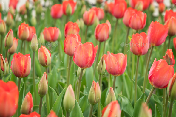 Field of beautiful blooming red tulips - Stock Photo - Images