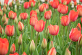 Field of beautiful blooming red tulips - PhotoDune Item for Sale