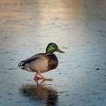 Beautiful duck walks on the frozen lake - PhotoDune Item for Sale