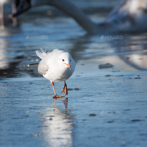 Seagull cautiously goes on the ice - Stock Photo - Images