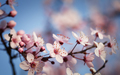 Flowering branch of plum - PhotoDune Item for Sale