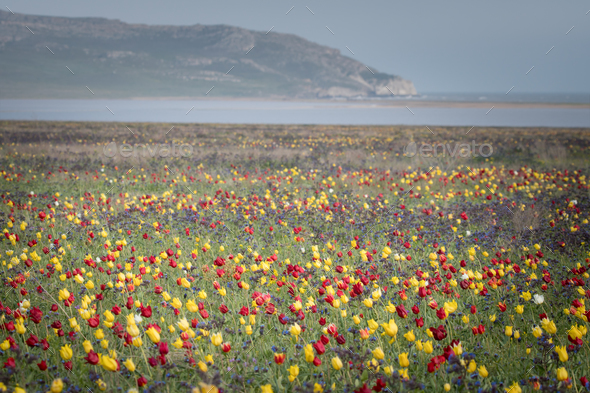 Wild tulips of red and yellow in green grass - Stock Photo - Images