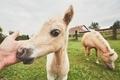 Miniature horses on the pasture