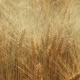 The Yellow Field Ready To Harvest Wheat - VideoHive Item for Sale