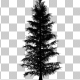 Growing Pine Tree Silhouette - VideoHive Item for Sale