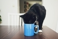Curious cat drinking from mug