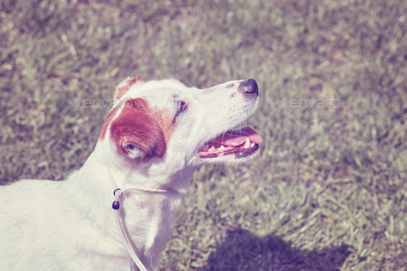 Color toned portrait of a young Jack Russell Terrier - Stock Photo - Images