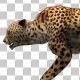Cheetah Walking Animation - VideoHive Item for Sale