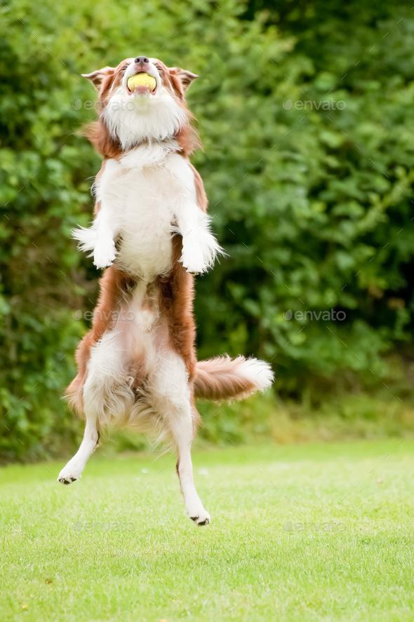 canine agility