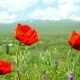 Poppy Flowers in the Field with the Mountains in Background - VideoHive Item for Sale