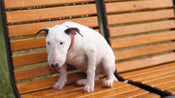 Resultado de imagen para bull terrier sad