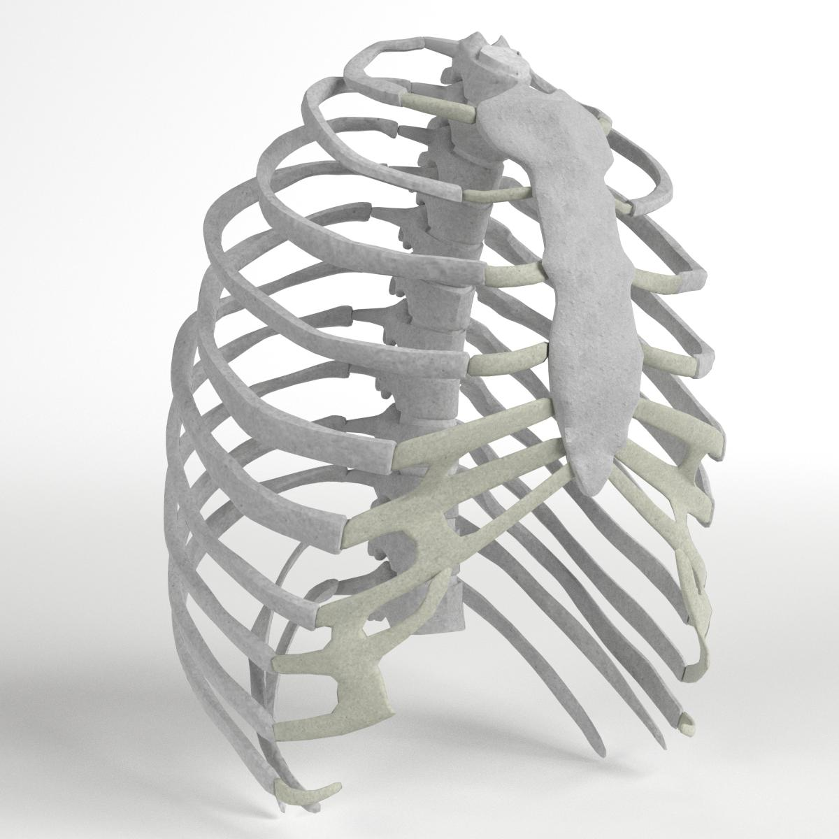 Anatomy Human Rib Cage By Francescomilanese 3docean