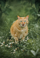Ginger cat cry in grass outdoor shot at sunny day