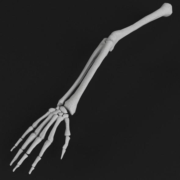 Anatomy - Hand and arm bones - 3DOcean Item for Sale