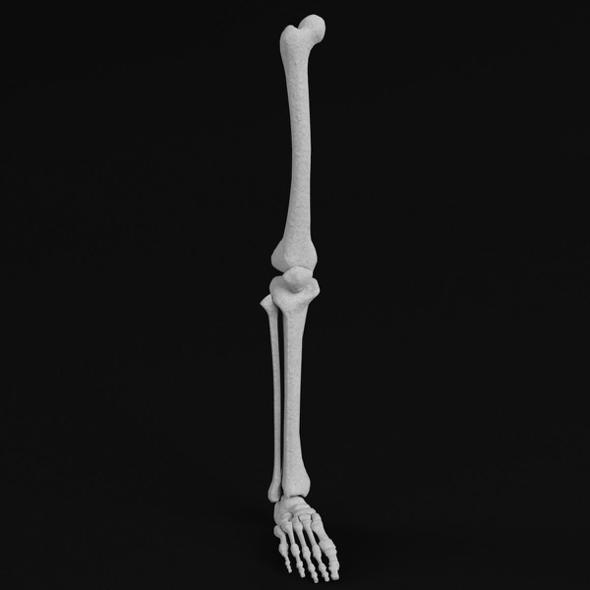 Anatomy - Leg and Foot bones - 3DOcean Item for Sale