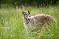 playful borzoi - PhotoDune Item for Sale