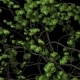 Green Ivy  - VideoHive Item for Sale