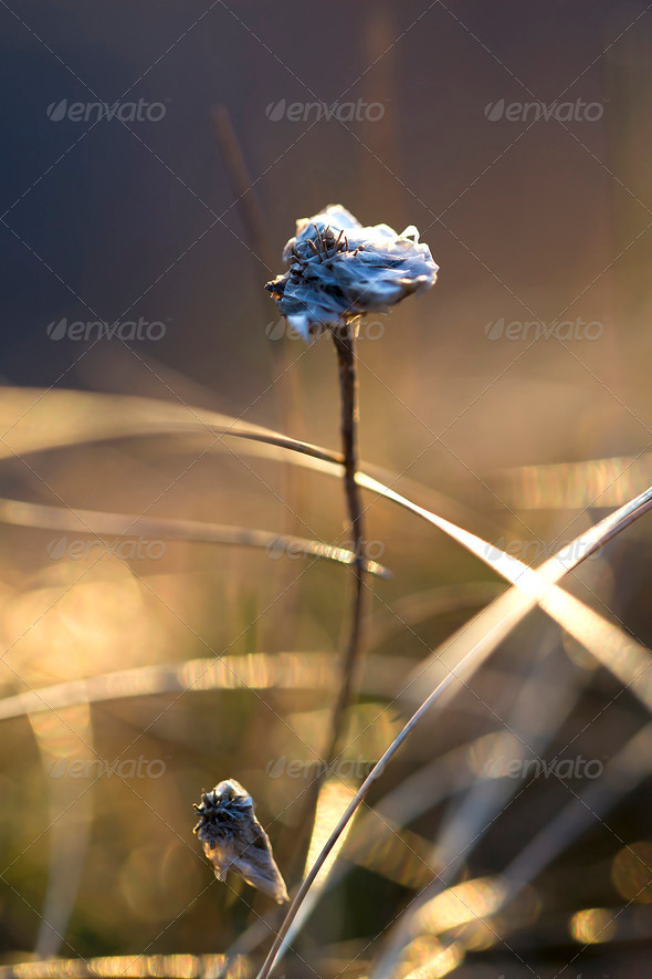 Thrift flower - Stock Photo - Images