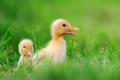 Two little duckling on green grass